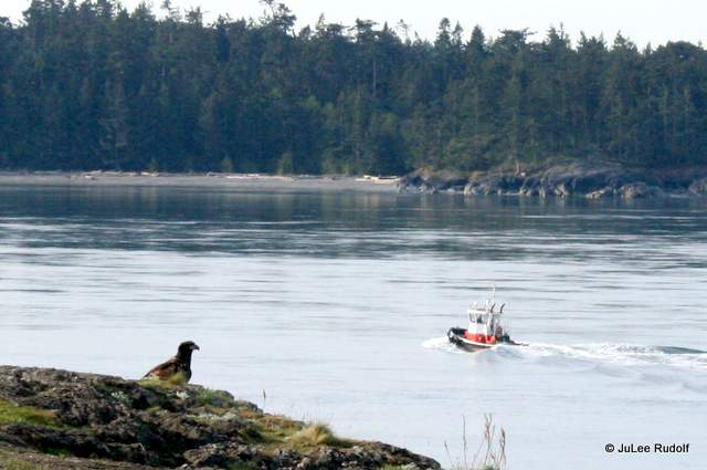 juvenile eagle and tugboat at Rosario Head