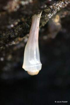 plumrose anemone