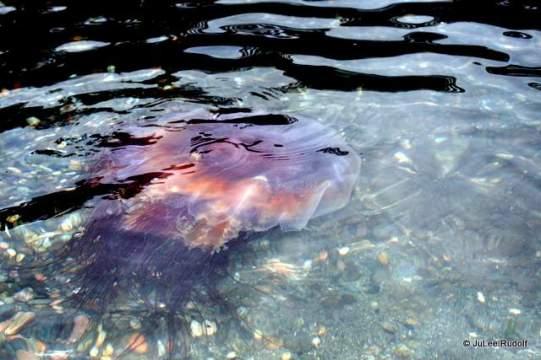lion's mane jellyfish at Sharpe Cove Rosario Beach