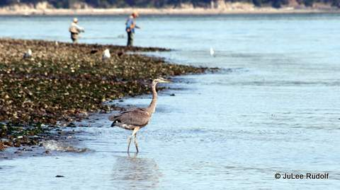 Heron at Ala Spit (August 2013)