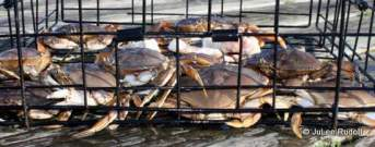 Dungeness crab at Cornet Bay dock