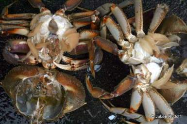 Crab from Cornet Bay after shell removal