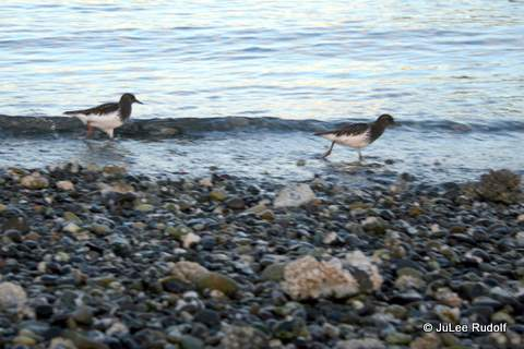 Black turnstone at Ala Spit