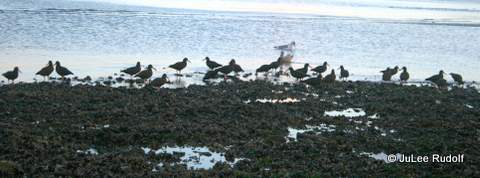 Black oystercatcher at Ala Spit