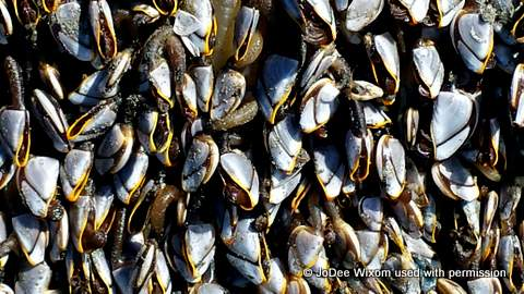Goose barnacles and Ocean Shores