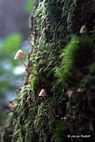 Mycena along the Summit Trail
