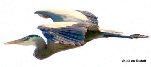 Heron_2012_JuLeeRudolf-001