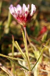 Trifolium wormskjoldii