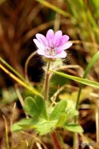 Geranium mole
