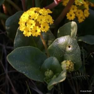 Abronia latifolia