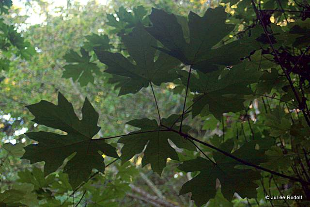 Maple tree leaves at South Whidbey State Park