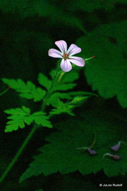 Herb Robert at South Whidbey State Park