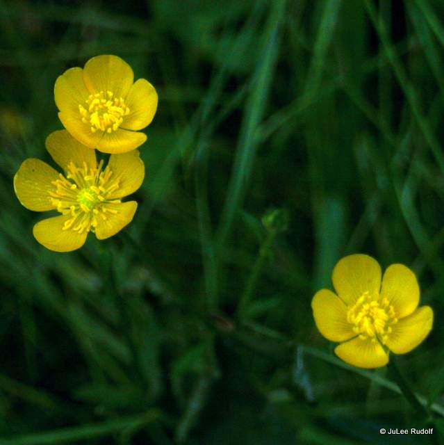 buttercups at South Whidbey State Park