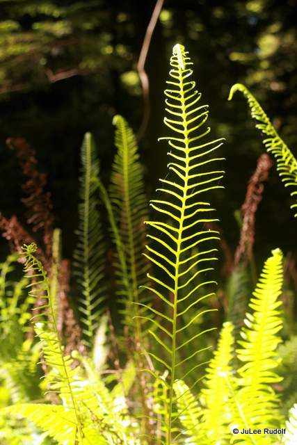 ferns at South Whidbey State Park