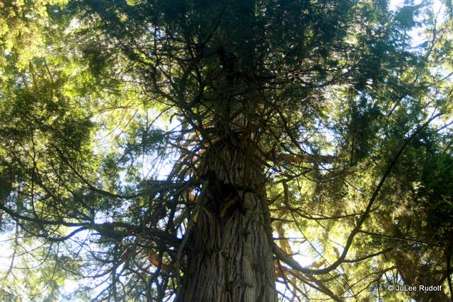 Ancient Cedar at South Whidbey State Park