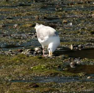 gull at Mueller Beach