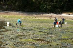 clamming at Mueller Park Beach