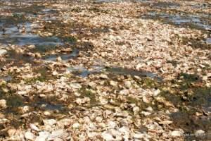 oyster shells at Mueller Beach