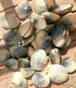 Manilla clams from Mueller Beach