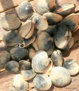 Manilla clams from Mueller Beach