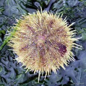 green urchin at Mueller Beach