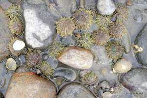 green urchins at Mueller Beach