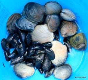 Shellfish from Mueller Beach