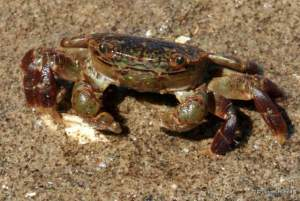 shore crab at Double Bluff County Park