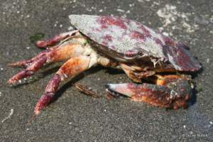 red rock crab at Double Bluff County Park