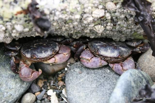 crabs-003