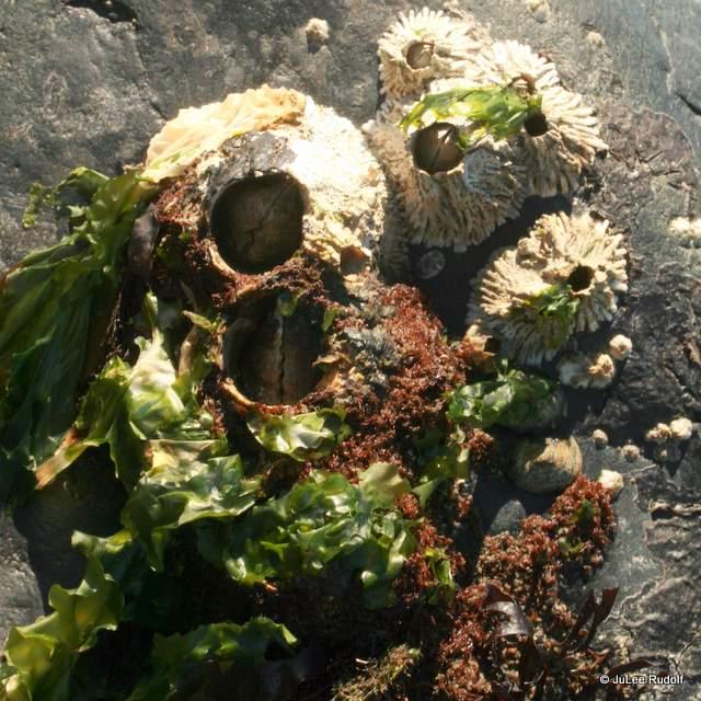 barnacles at Libbey Beach