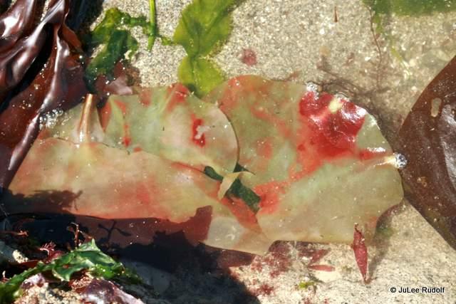 seaweed at Libbey Beach
