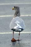 gull at W Beach