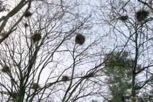 Heron Nests 12-11-2015 12-44-40 PM