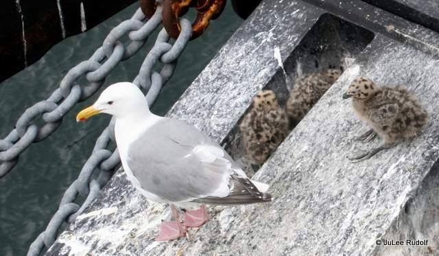 seagulls 7-10-2013 4-48-28 PM
