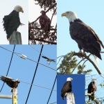 Dugualla Bay Whidbey Island Bald eagles