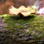 Tursi Trail mushroom