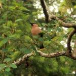 Cedar waxwing Tursi Trail