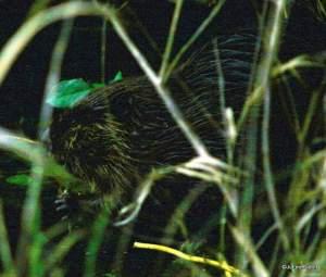 Beaver at Cranberry Lake-001