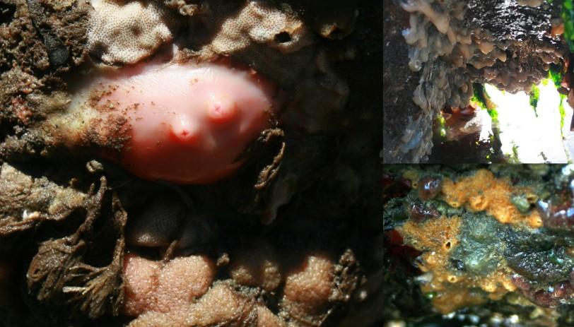 sea squirts and encrusting sponge 11-16-2017 7-46-47 AM.jpg