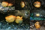 Anisodoris nobilis at Bowman & Cornet Bay--JuLee Rudolf