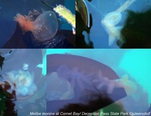 Melibe leonina at Cornet Bay--JuLee Rudolf