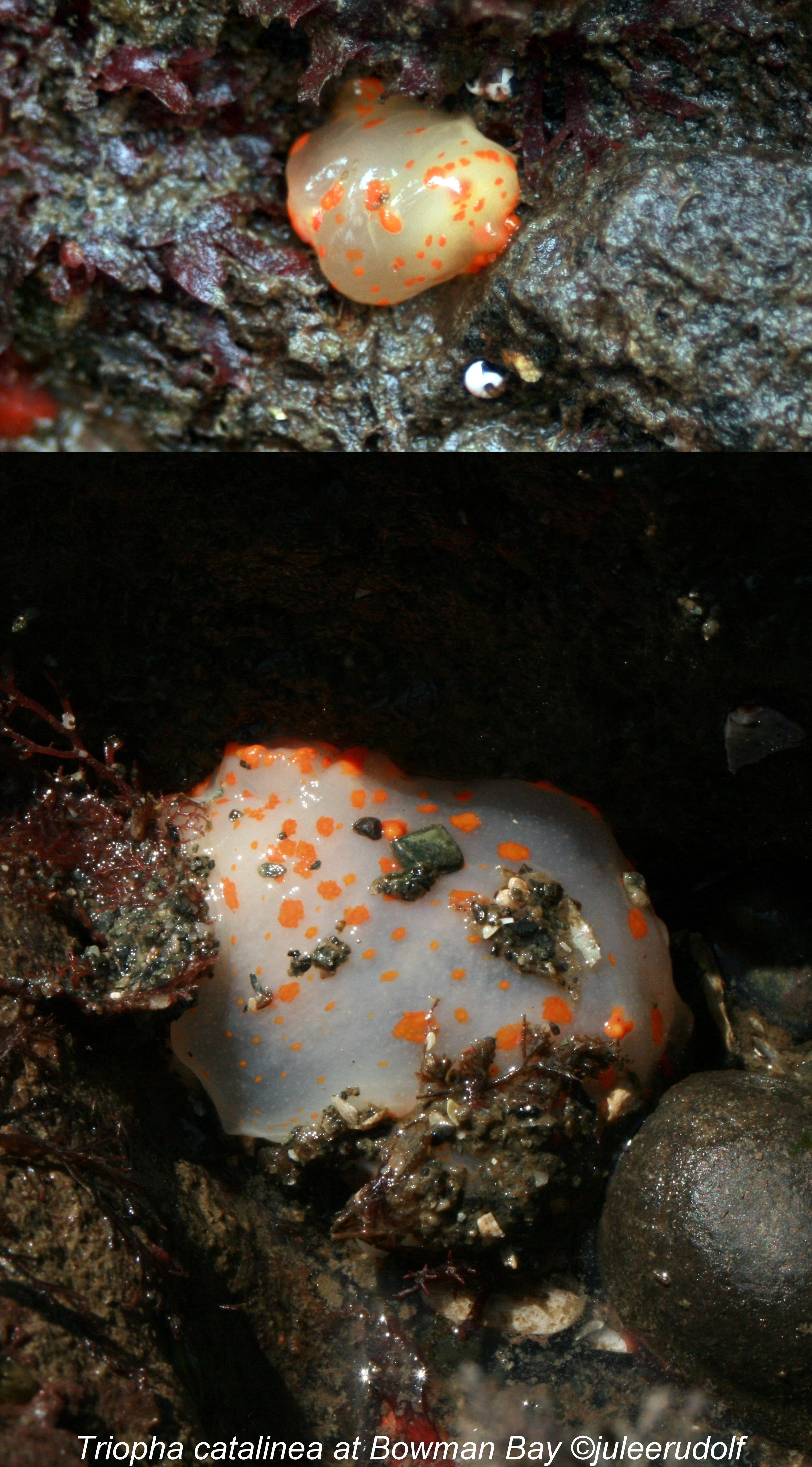 Triopha catalinea at Bowman Bay--JuLee Rudolf